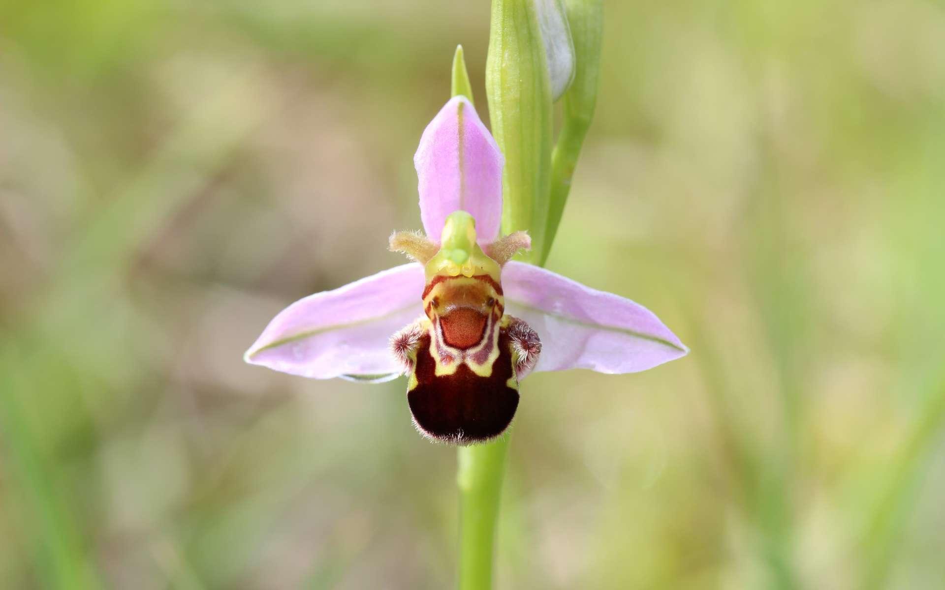 Ophrys abeille - fleur (Crédits : flickr)