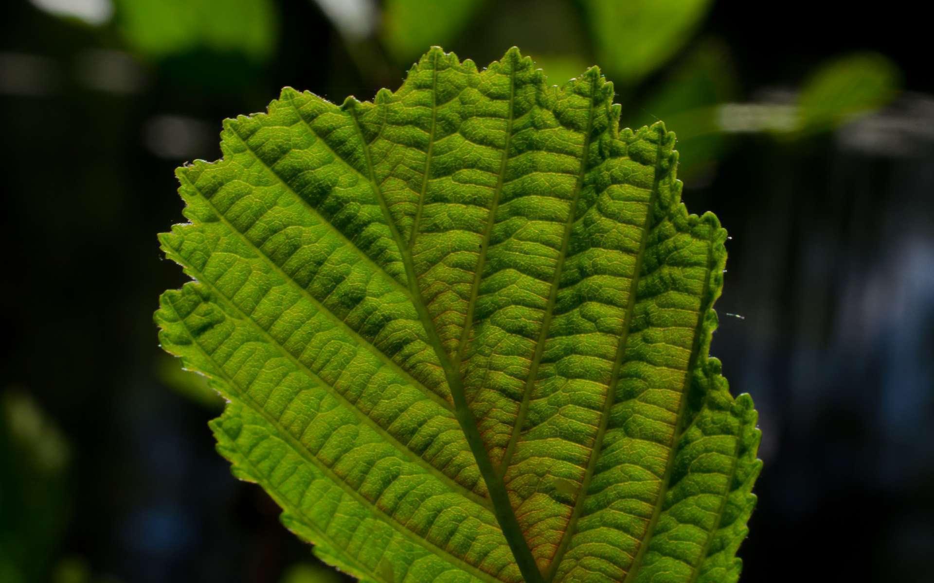 Aulne glutineux verne vergne balade randonn e pr s de chez vous - Polygala myrtifolia feuilles jaunes ...