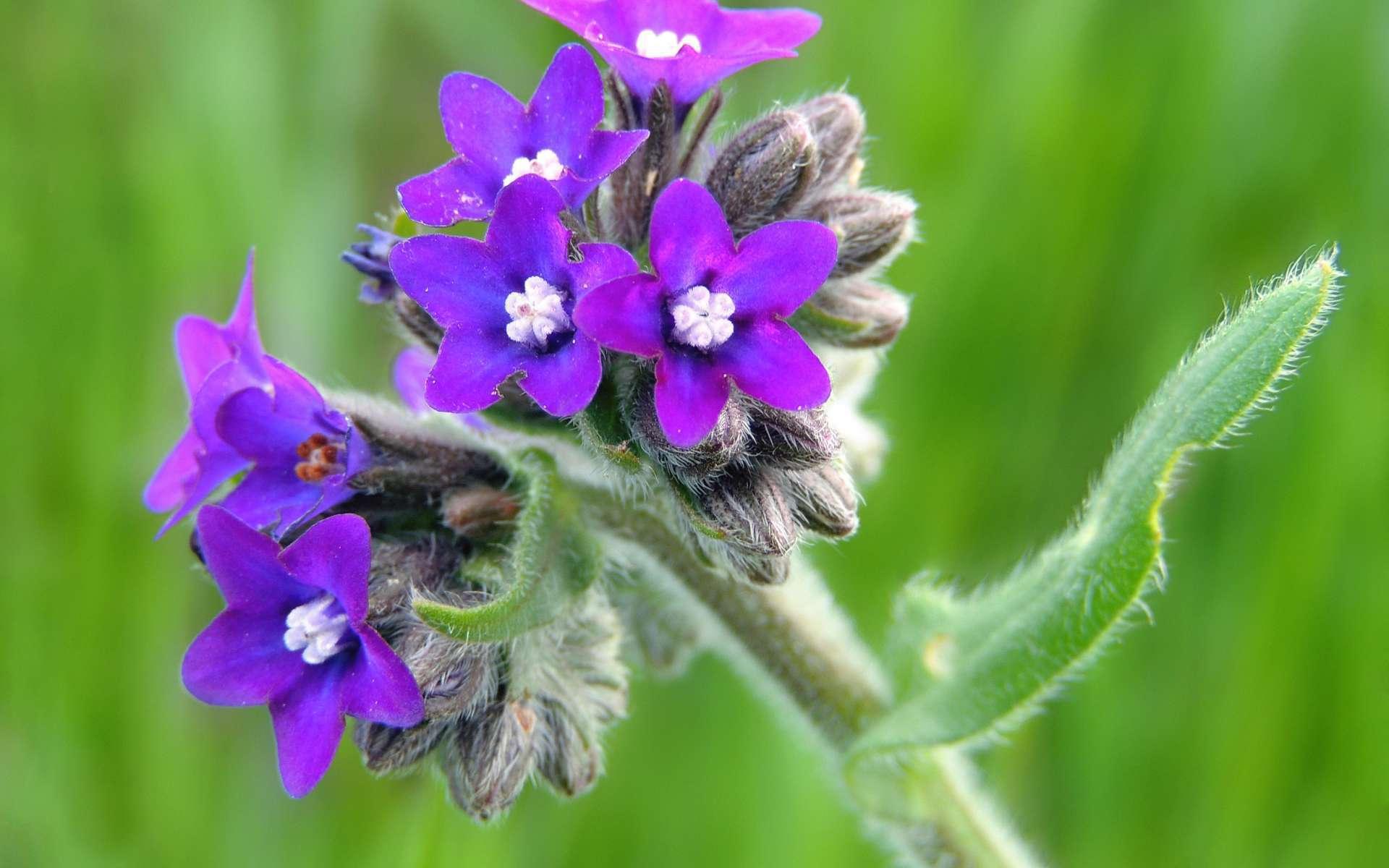 Buglosse officinale - fleurs (Crédits : xulescu_g - Flickr)