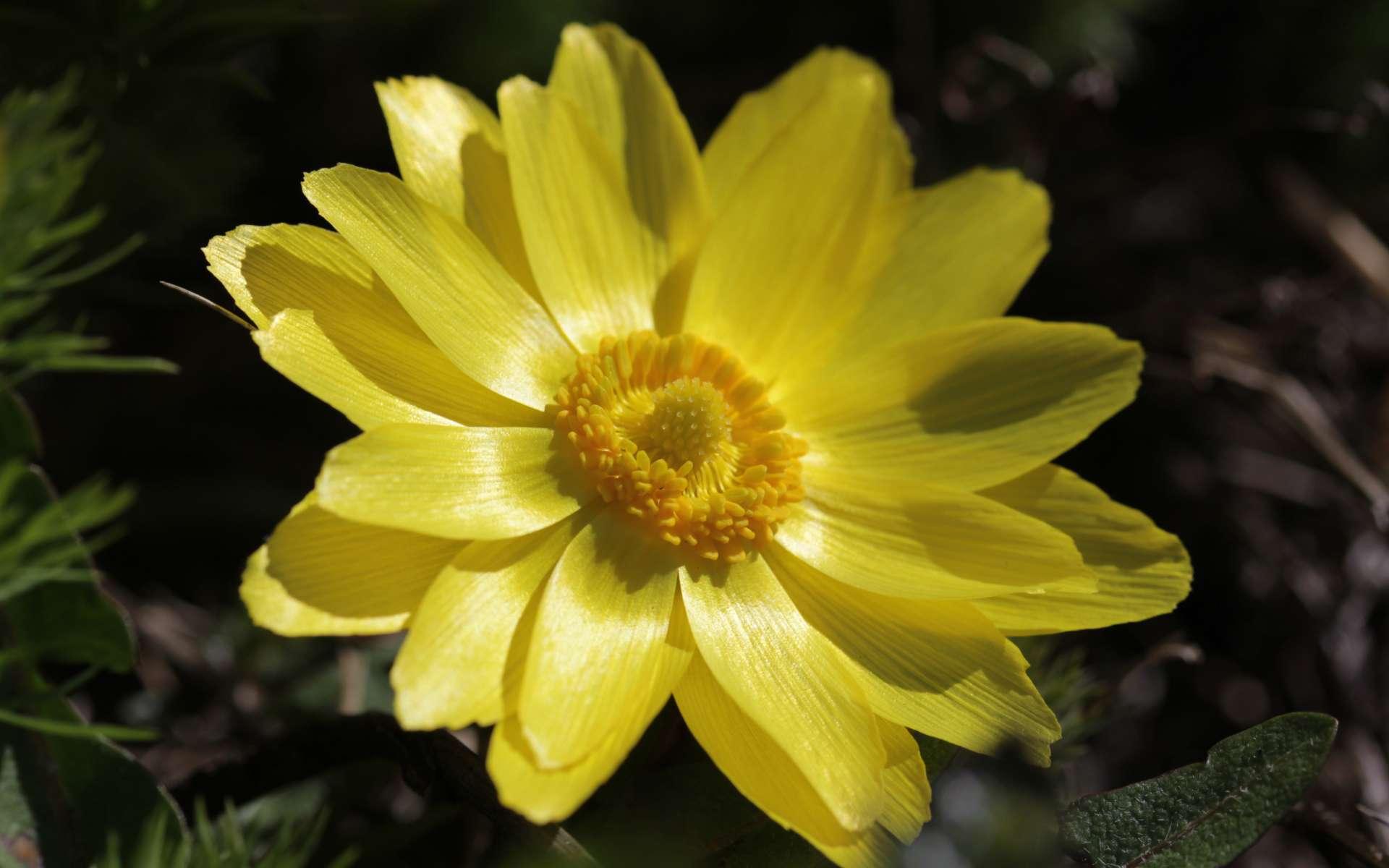 Adonis de printemps (Crédits : Bjorn S - Flickr)