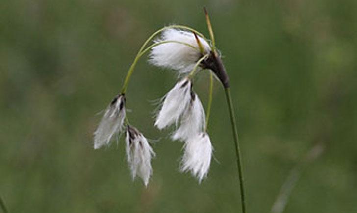 linaigrette a feuilles etroites eriophorum angustifolium crédit: CTSPM