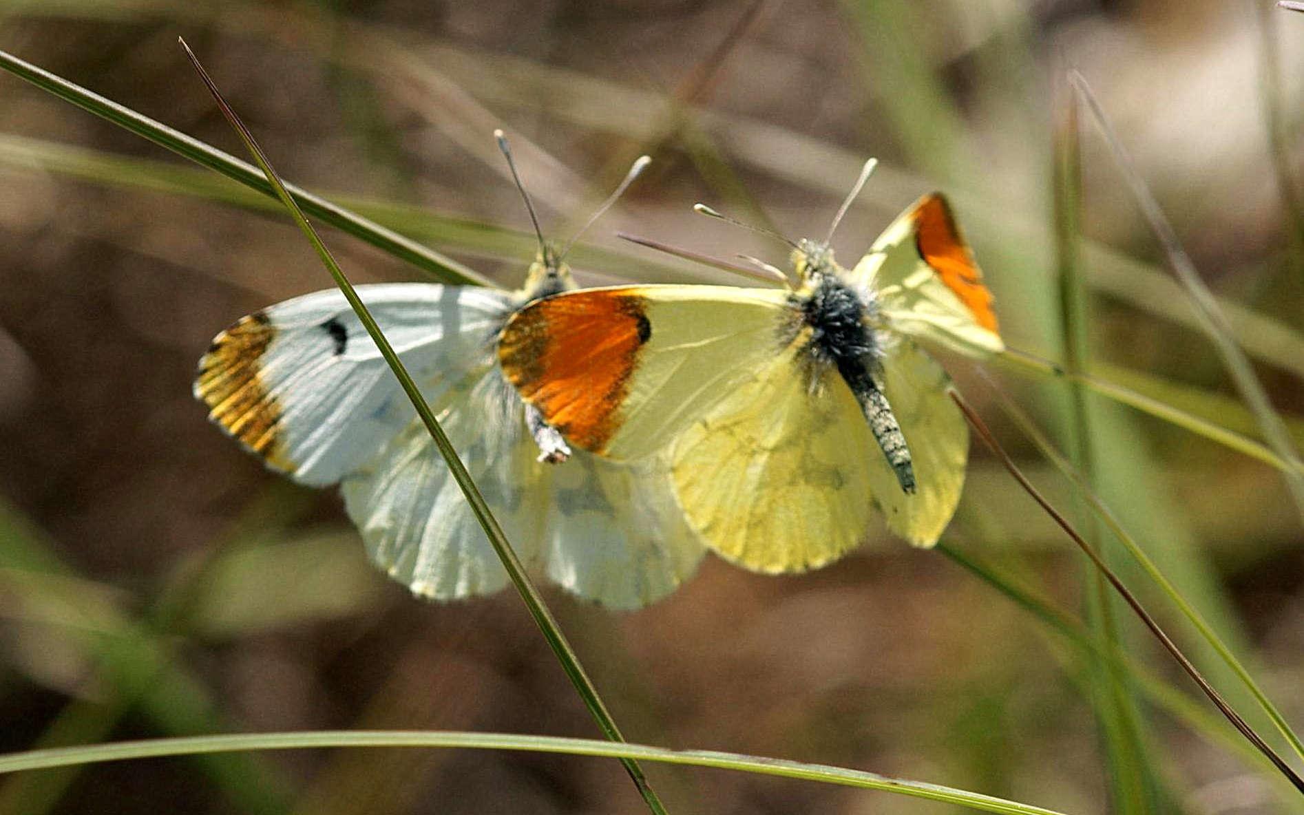 Aurore de Provence mâle et femelle (Crédis : Ferran Pestana)