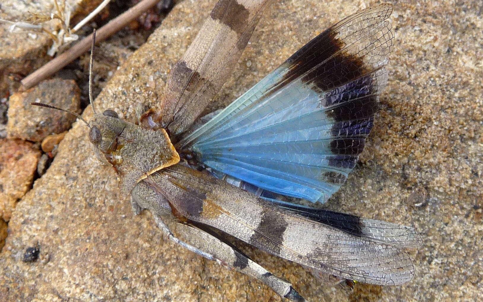 Oedipode bleu (Crédits : Flickr)
