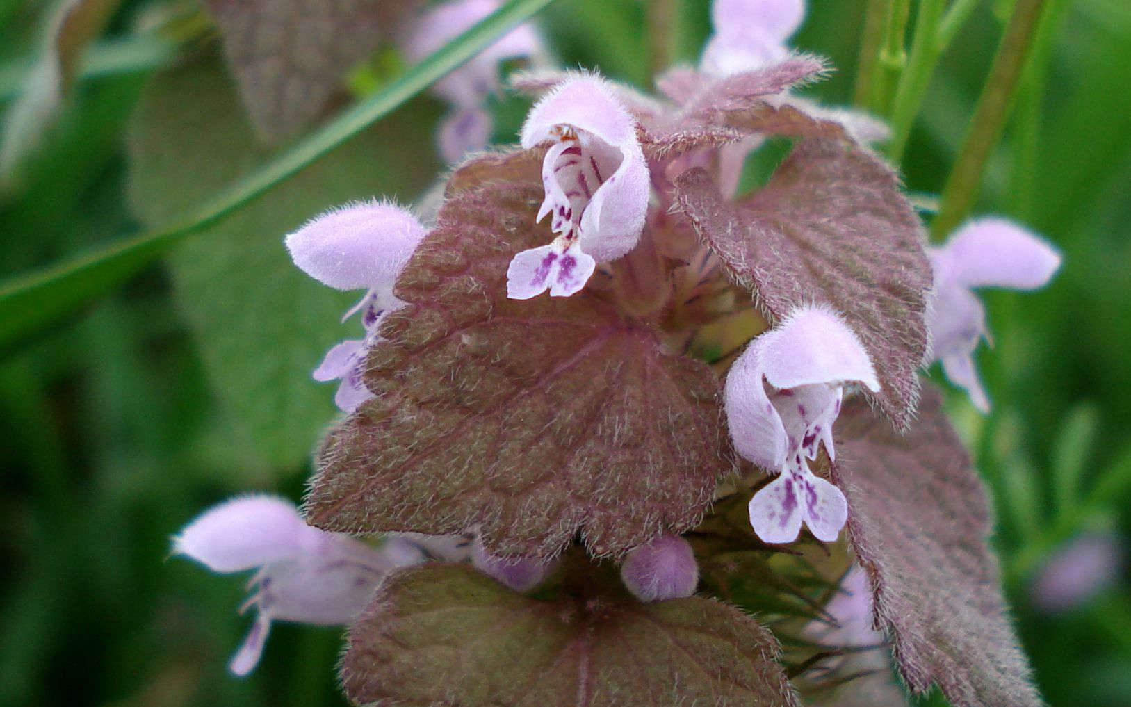 Lamier pourpre - fleurs (Crédits : flickr)