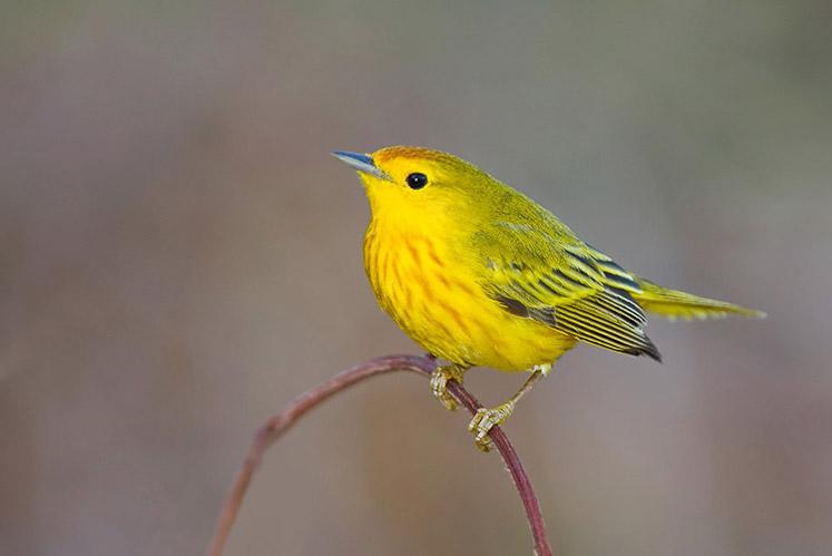 Paruline jaune mâle. Crédits : Saint-Pierre-et-Miquelon
