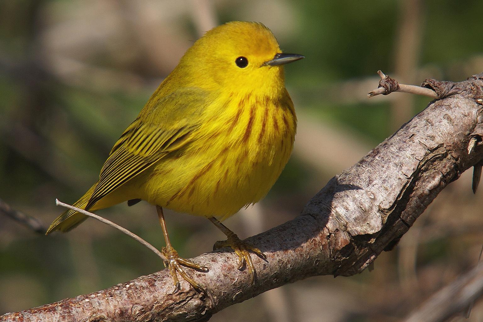 Paruline jaune mâle. Crédits : Laurent Jackman