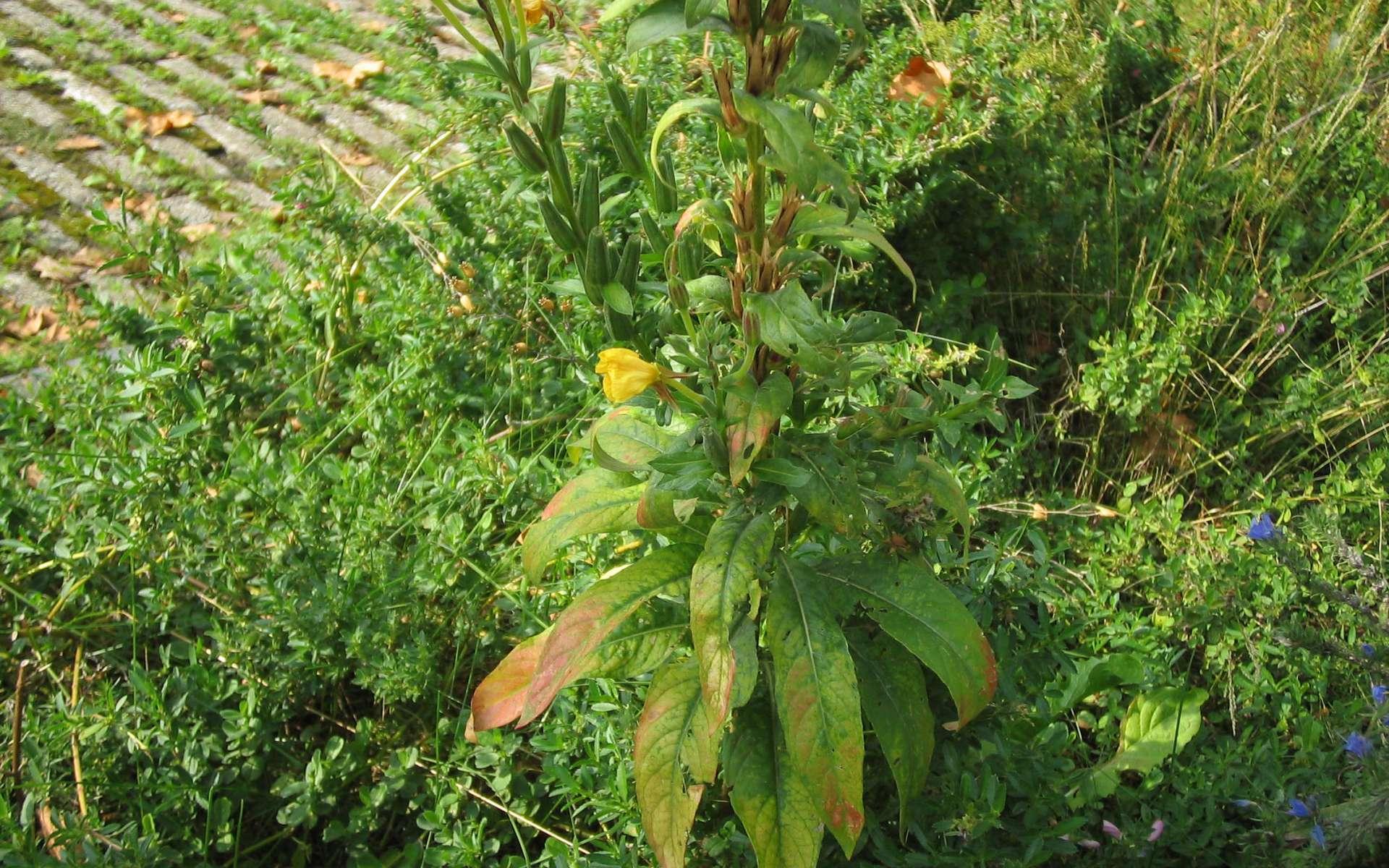 Onagre bisannuelle - feuilles (Crédits : Michael Wunderli)