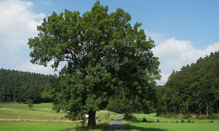 Frêne élevé (crédit: willow)