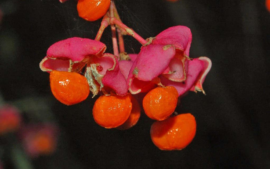 Fusain d'europe - fruits et graines (Crédits : Ettore Balocchi)