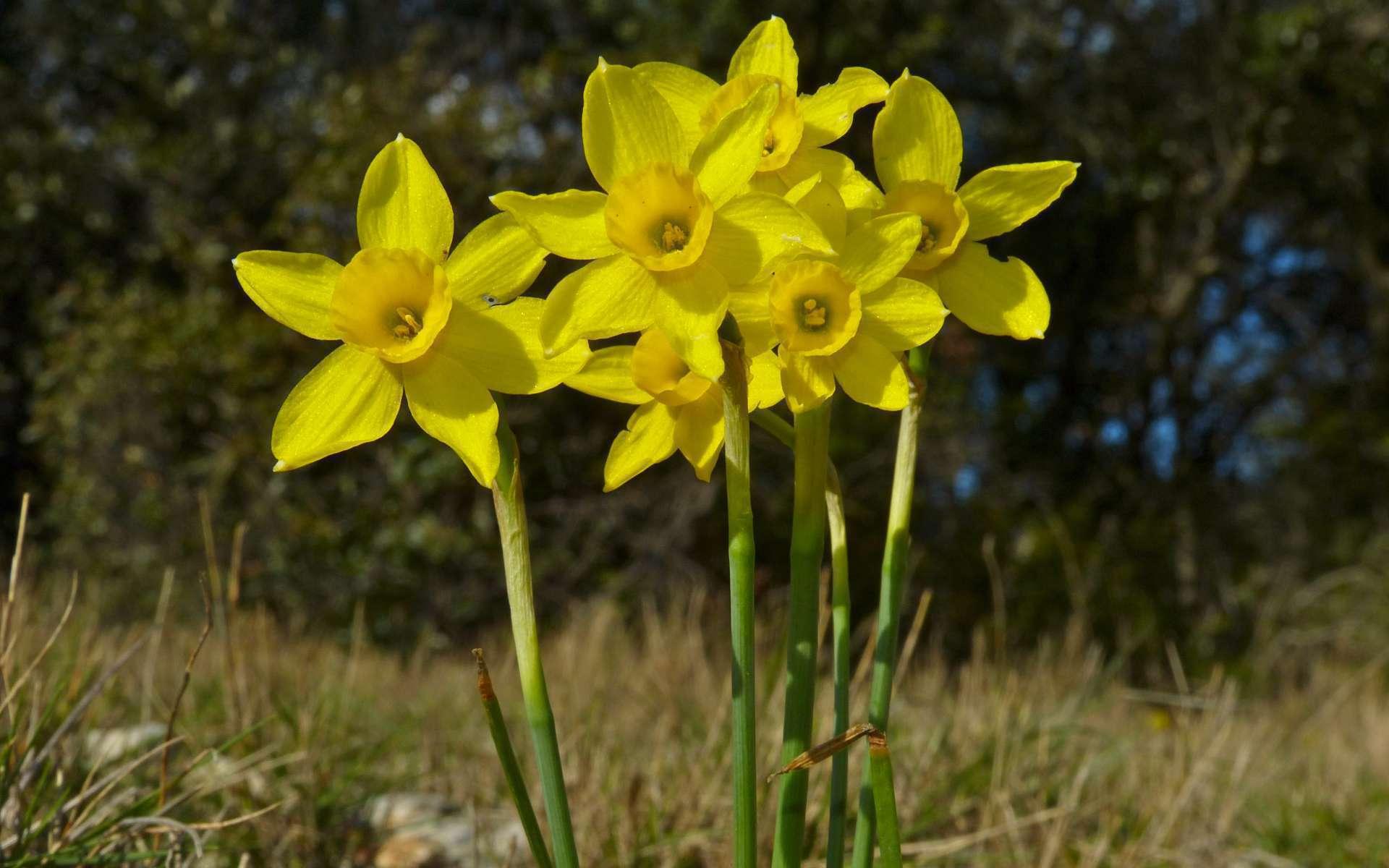 Narcisse d'asso (Crédits : Bernard Dupont)