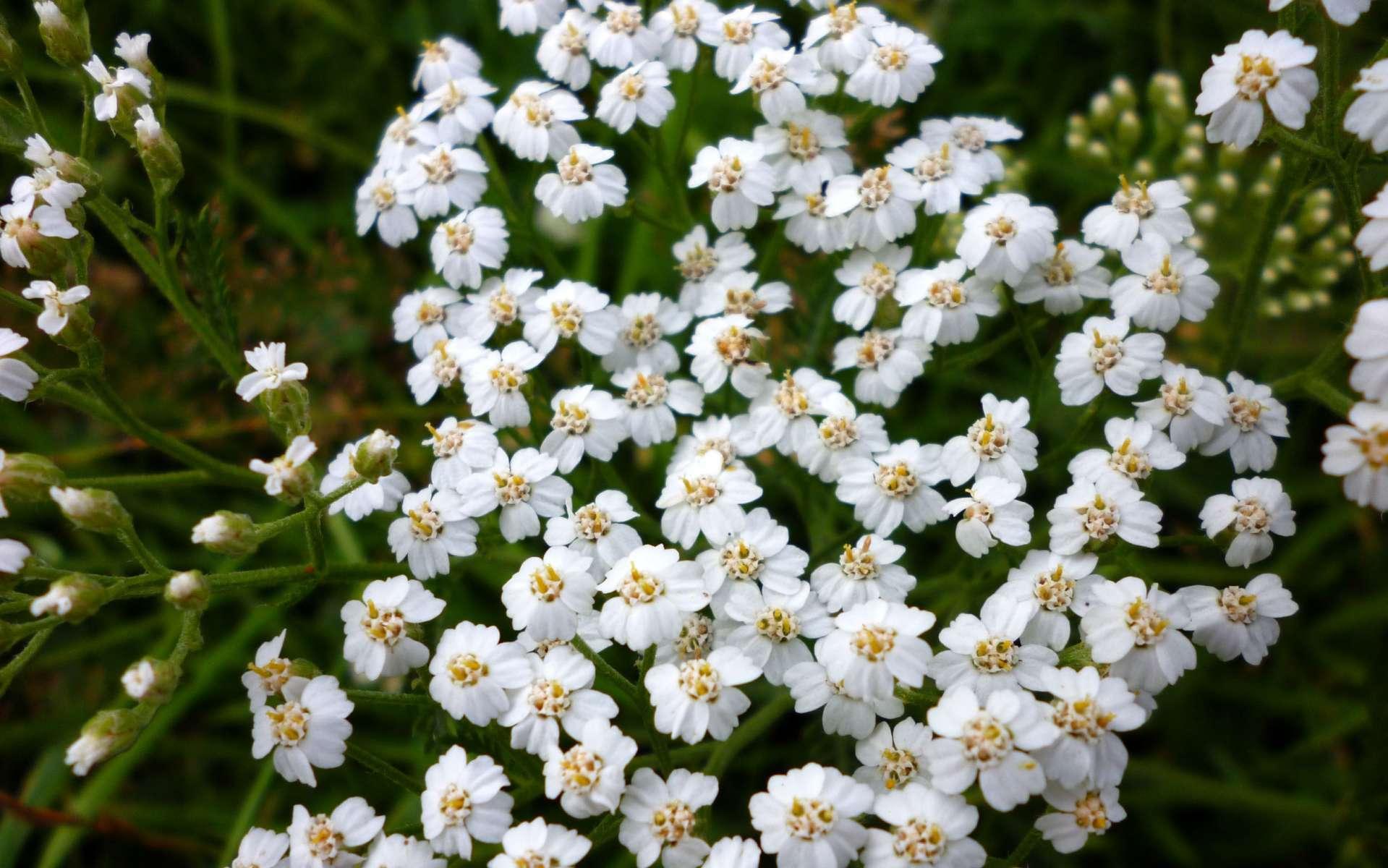 Achillée millefeuille - fleurs (Crédits : Benoit Tarlant)