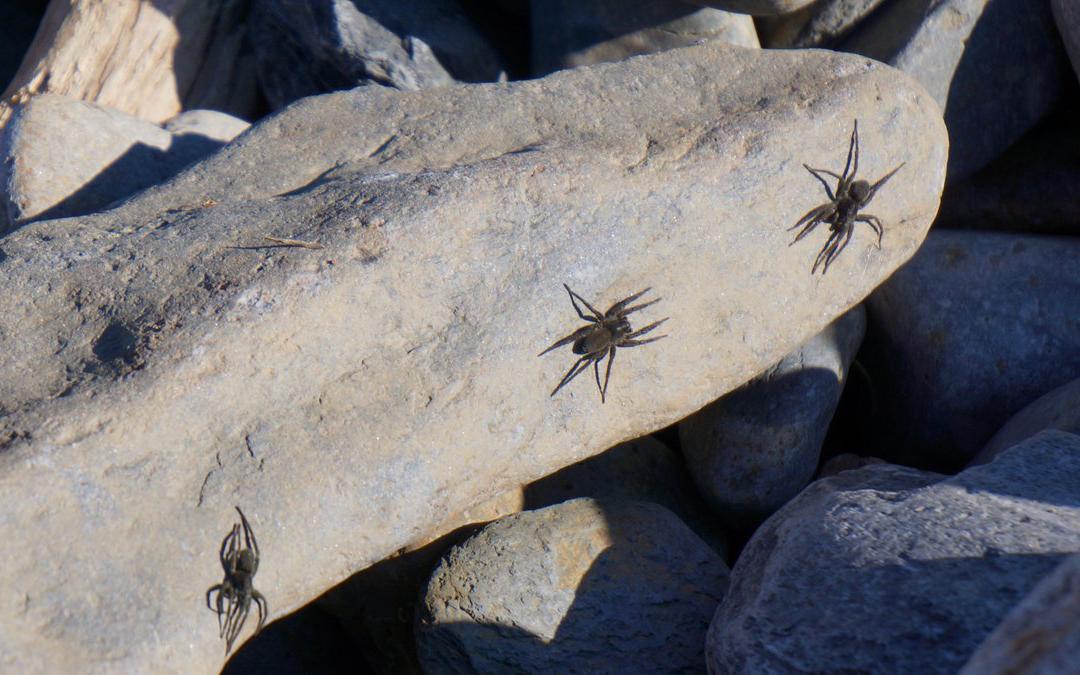 Araignées des galets. Crédits : Saint-Pierre-et-Miquelon