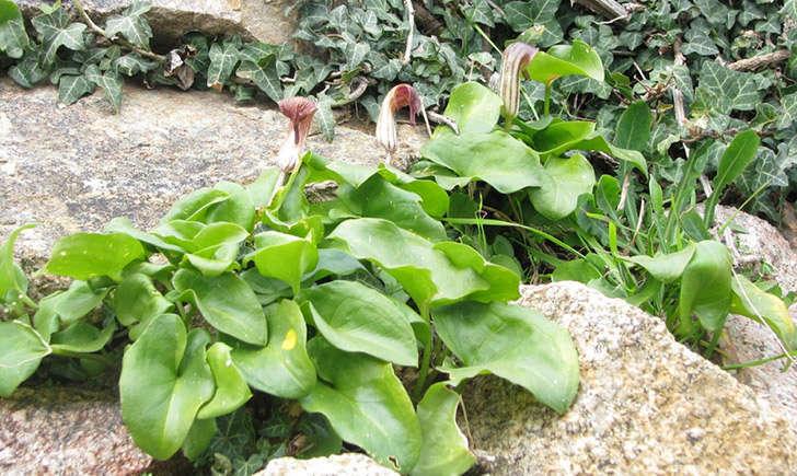 Arisarum (crédit: balognais - Tela Botanica)
