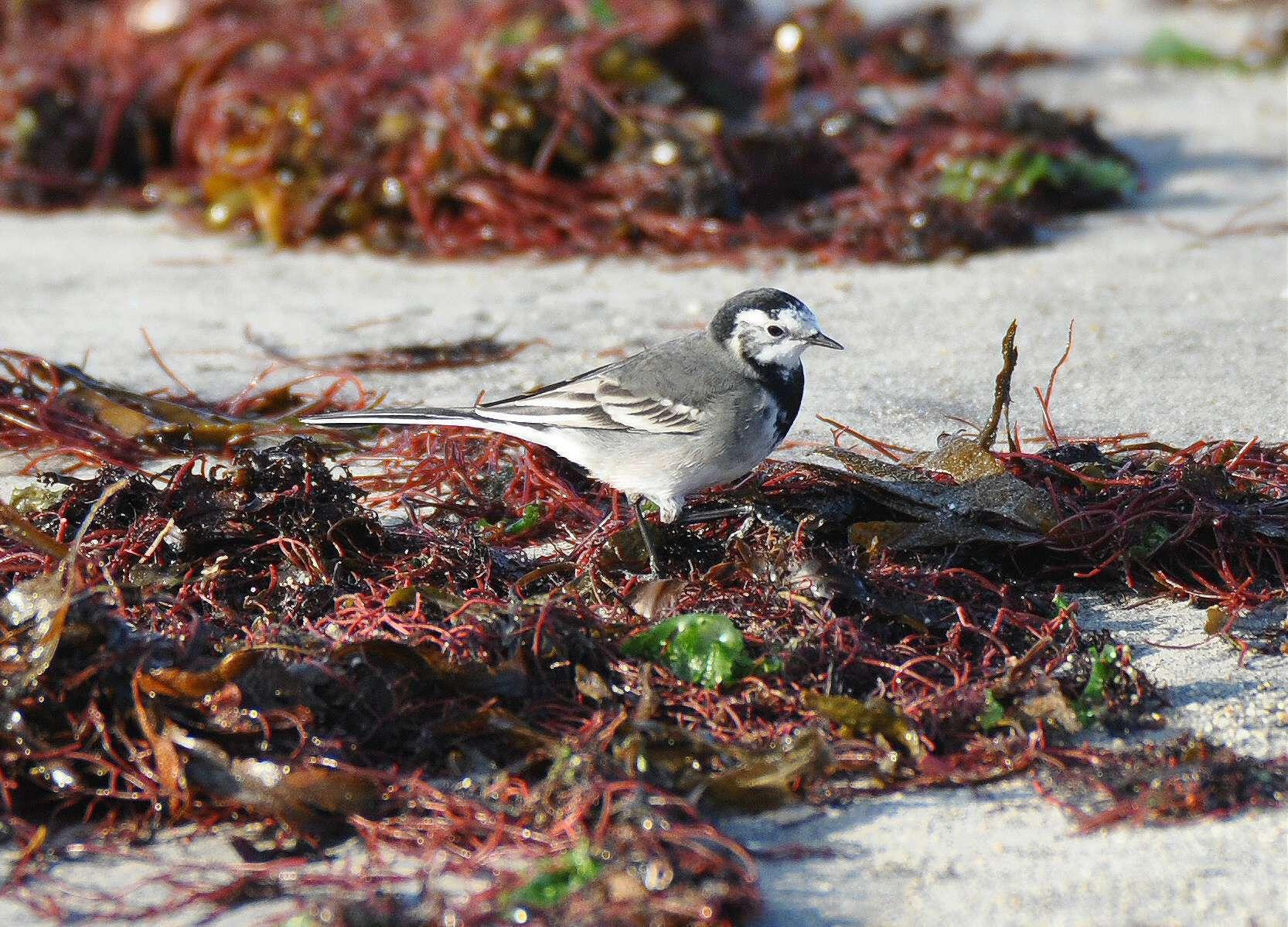 Bergeronnette grise à la recherche d'insectes sur une laisse de mer
