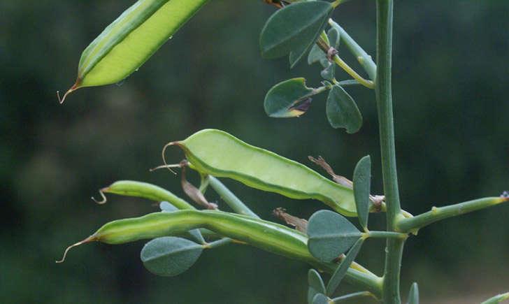 Calicotome épineux (crédit: Liliane ROUBAUDI - Tela Botanica)