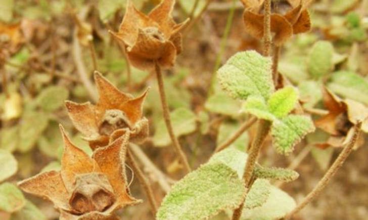 Ciste à feuilles de sauge