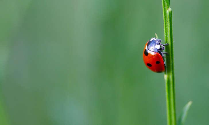 Coccinelle (crédit: erwanleherisse - Flickr)