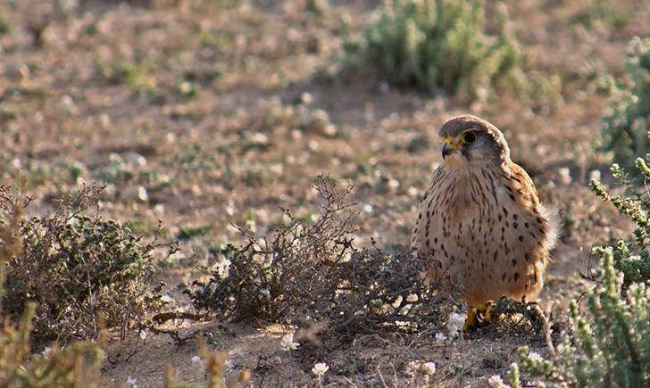 Faucon crécerelle (crédit: Frank.Vassen - Flickr)