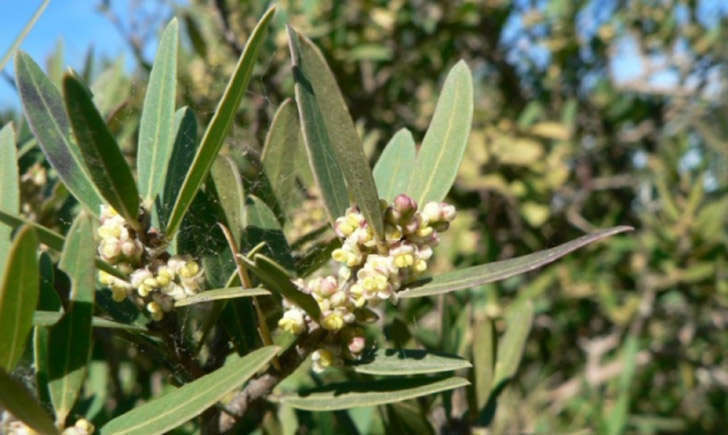 Filaire à feuilles étroites (Crédits : Mathieu.MENAND - Tela Botanica)