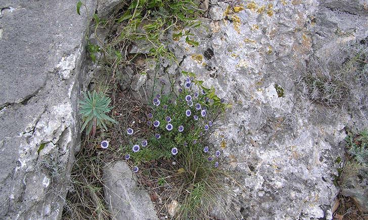 Globulaire buissonante (crédit: Andrine.FAURE - Tela Botanica)