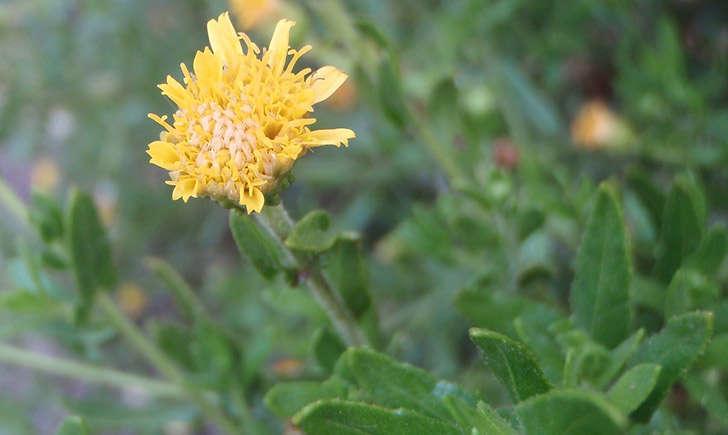 Inule visqueuse (crédit: Genevieve.BOTTI - Tela Botanica)