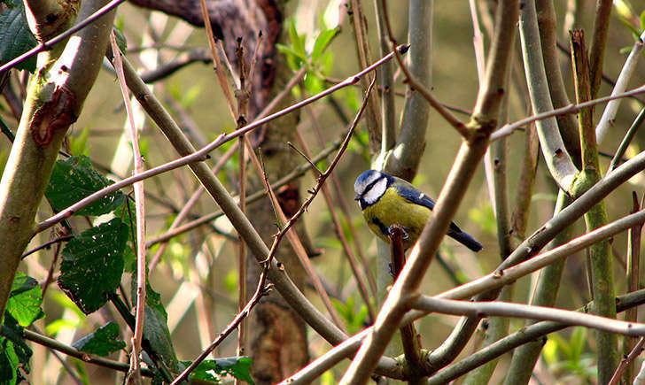 Mésange bleue (Crédits : garryknight - Flickr)