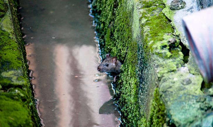 Rat noir (crédit: Rameez-Sadikot - Flickr)