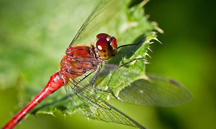 Sympétrum rouge (crédit: DidWee - Flickr)