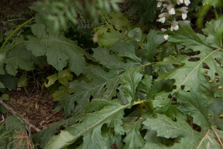 Acanthe à feuilles molles (Crédits : Cédric Seguin - Natural Solutions)