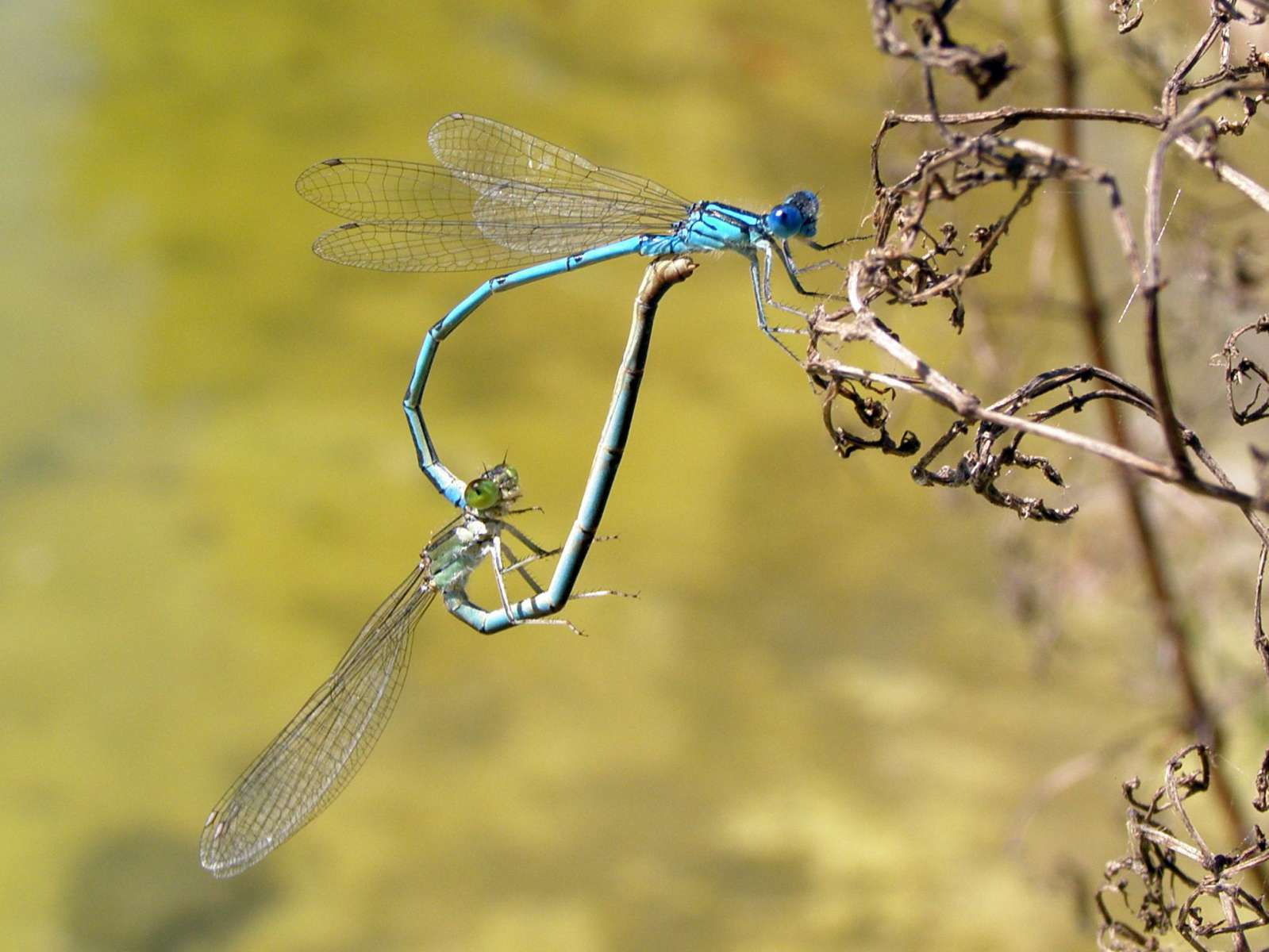 Agrion de Mercure - accouplement
