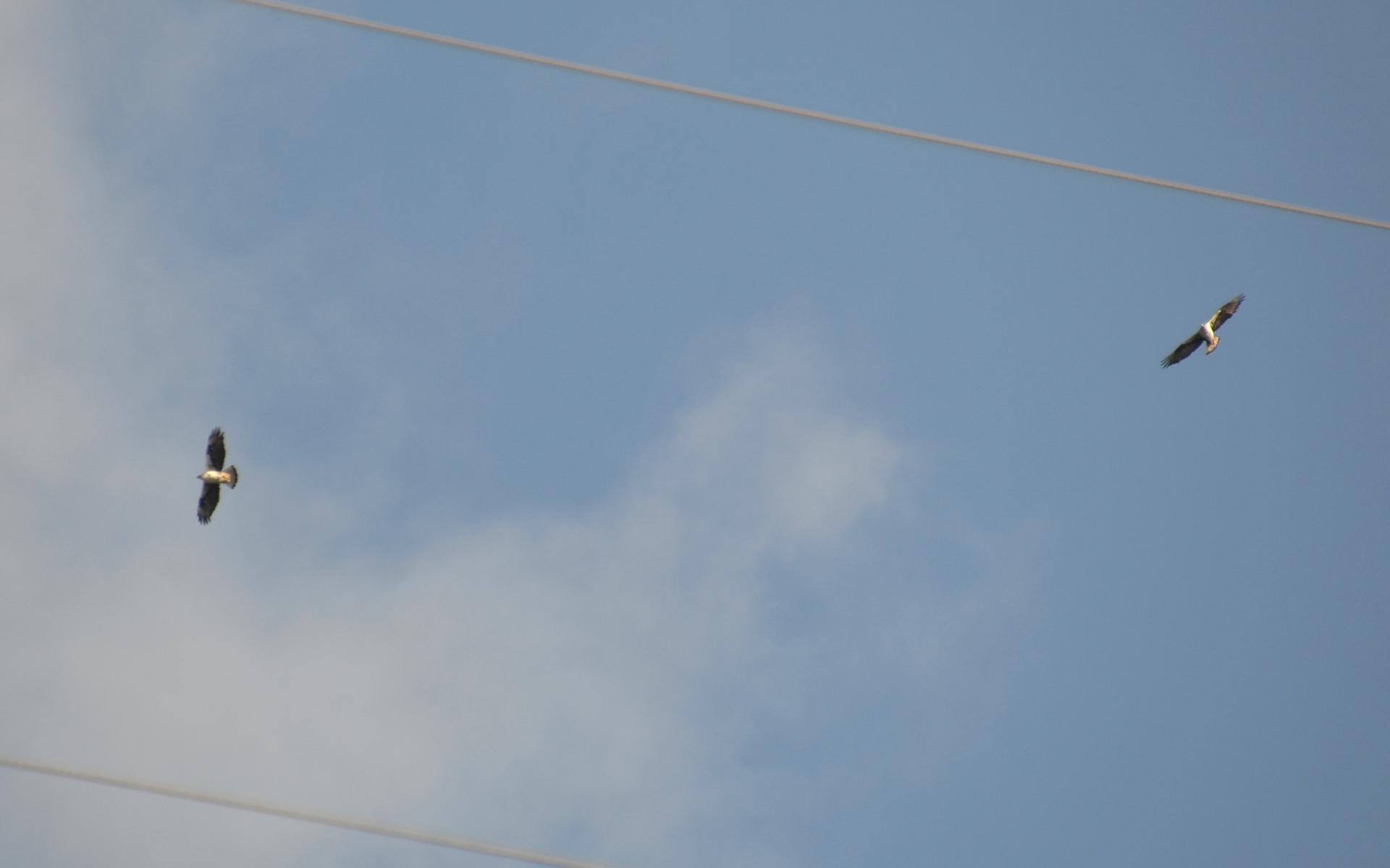 Aigle de bonelli (Crédits: Birdwatching Barcelona - Flickr)