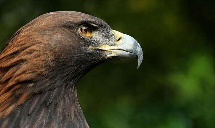 Aigle royal (Crédits: flickrfavorites - flickr)