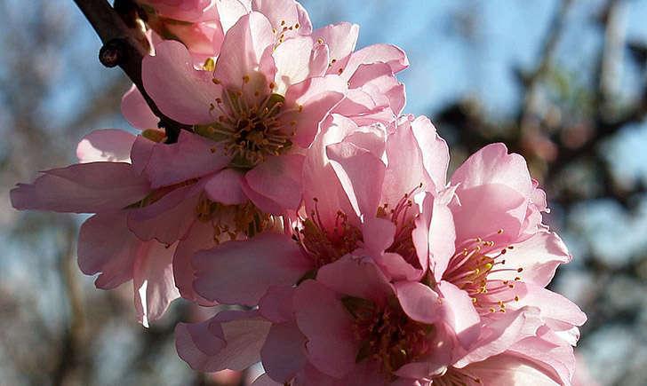 Fleurs d'Amandier (Crédits : Guy Moll)
