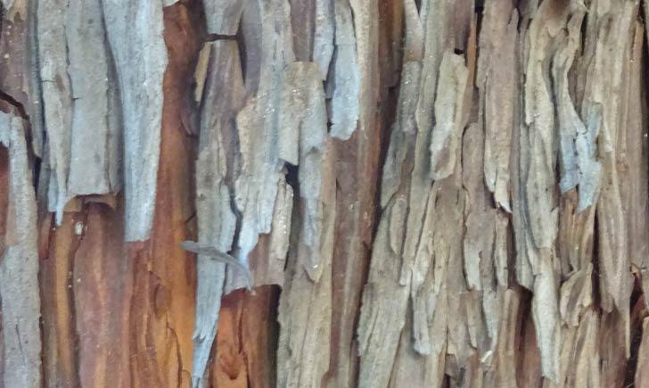 Arbousier-ecorce-de-vieil-arbre-credits-Fabienne-Guerin