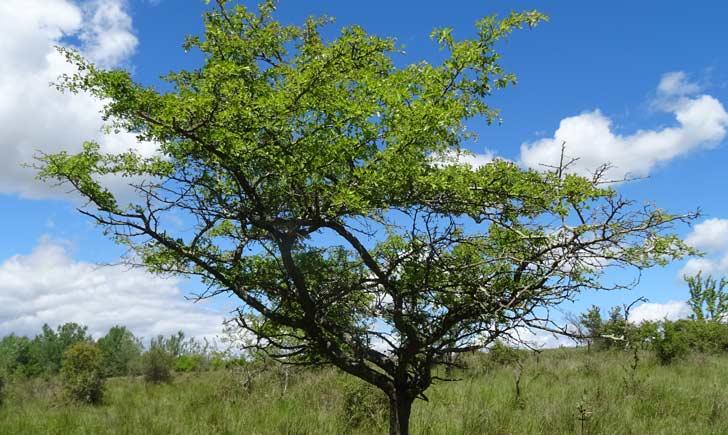 Aubepine_arbre_en_Camargue_credits-Fabienne-Guerin