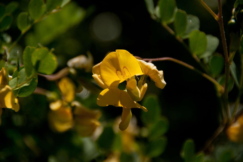 Baguenaudier - fleurs (Crédits : Cédric Seguin - Natural Solution)