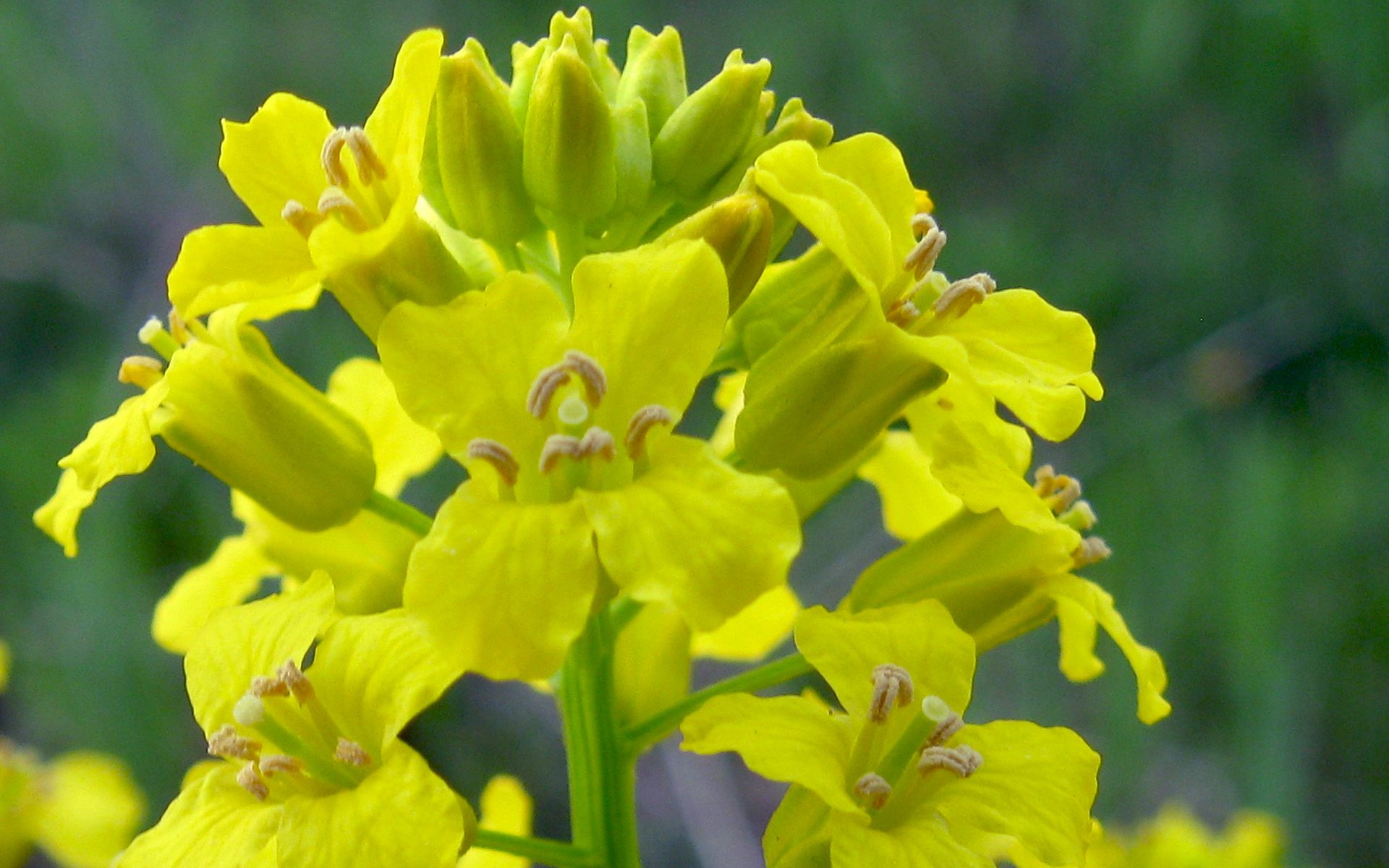 Fleur de barbarée commune. Crédit : Benet2006, Flickr