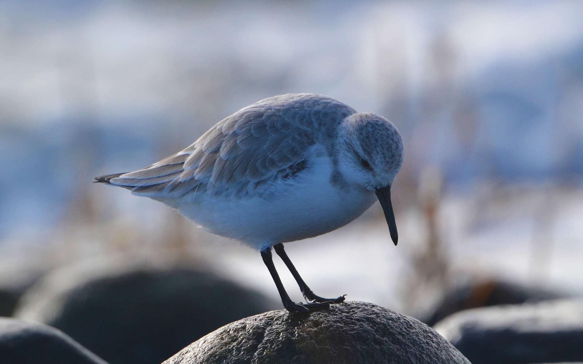 Bécasseau sanderling (Andrew C)