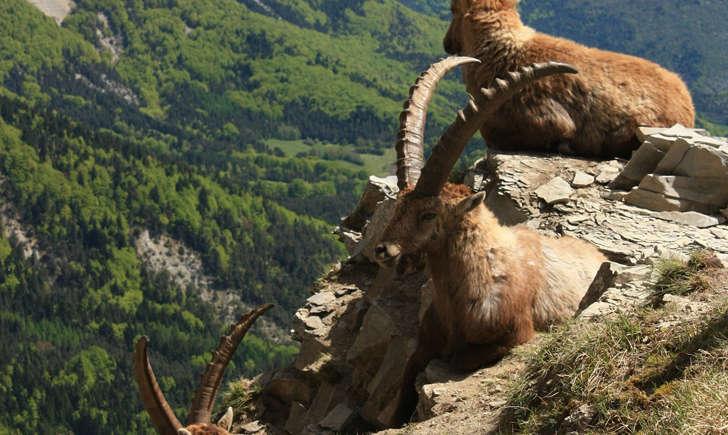 Bouquetin des Alpes (Crédits: Cyril Gautreau)