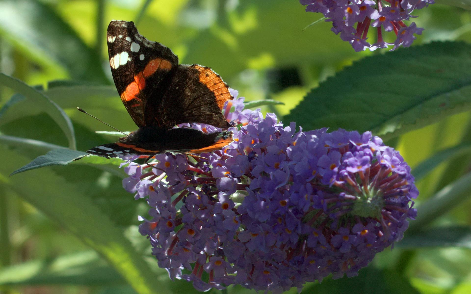 Arbre à papillons - Crédit : Stanze - Flickr