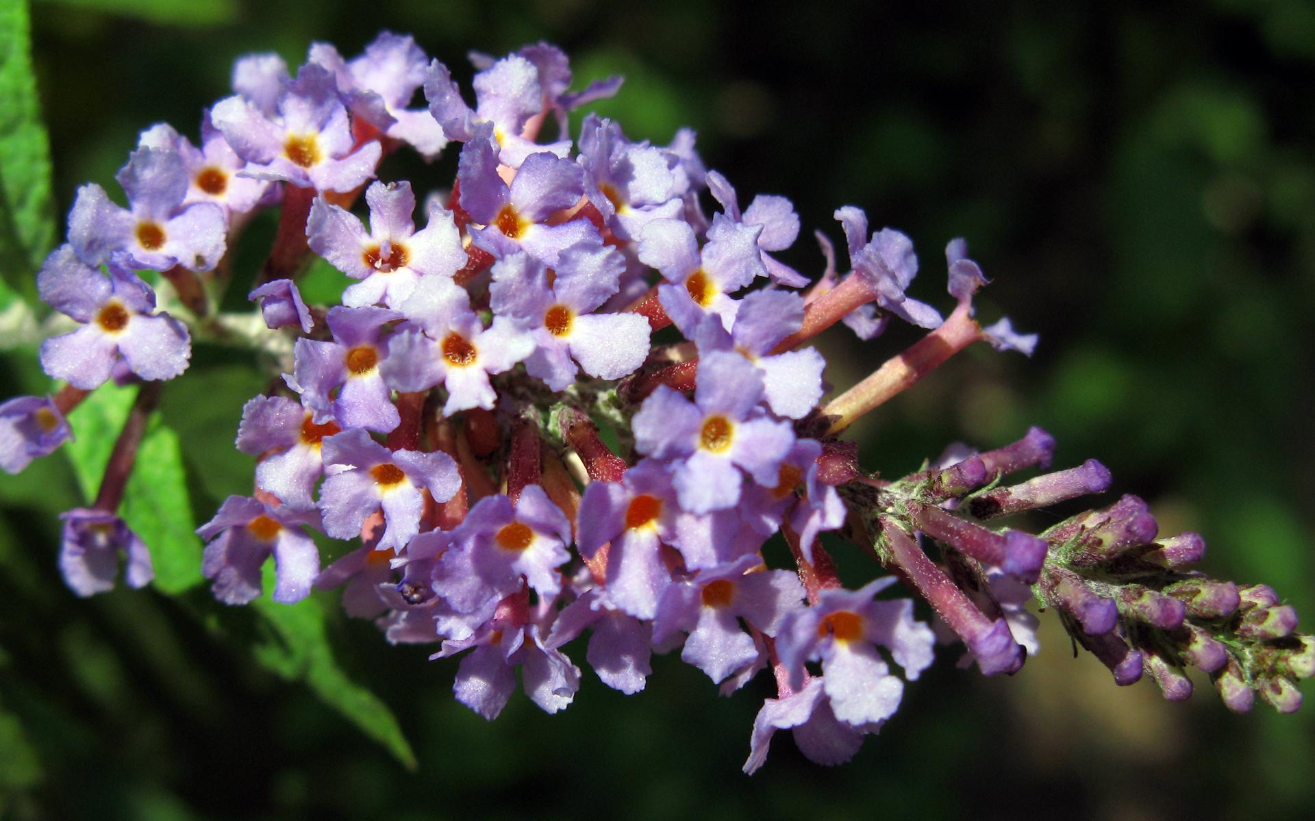 Arbre à papillons - Crédit : TANAKA Juuyoh - Flickr