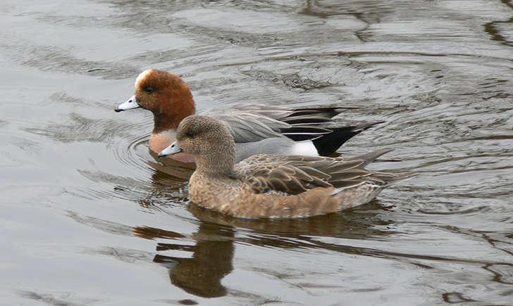 Couple de canard siffleur (Crédits: kuribo - flickr)
