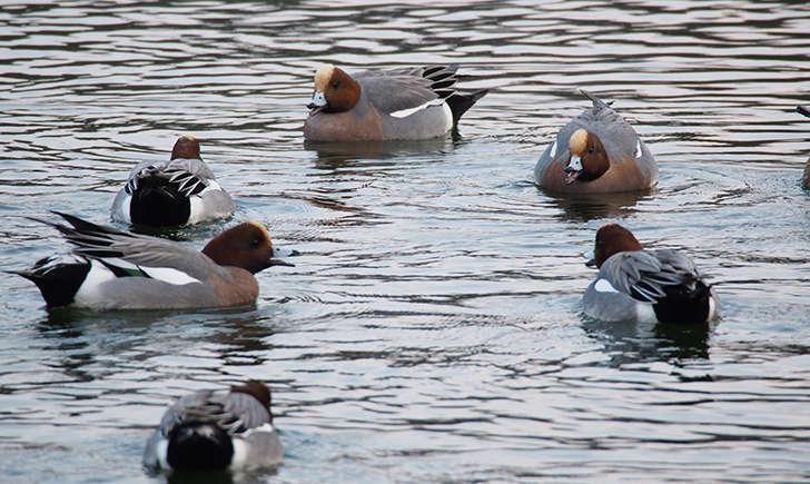 Réunion de Canards siffleur (Crédits: harum.koh - flickr)
