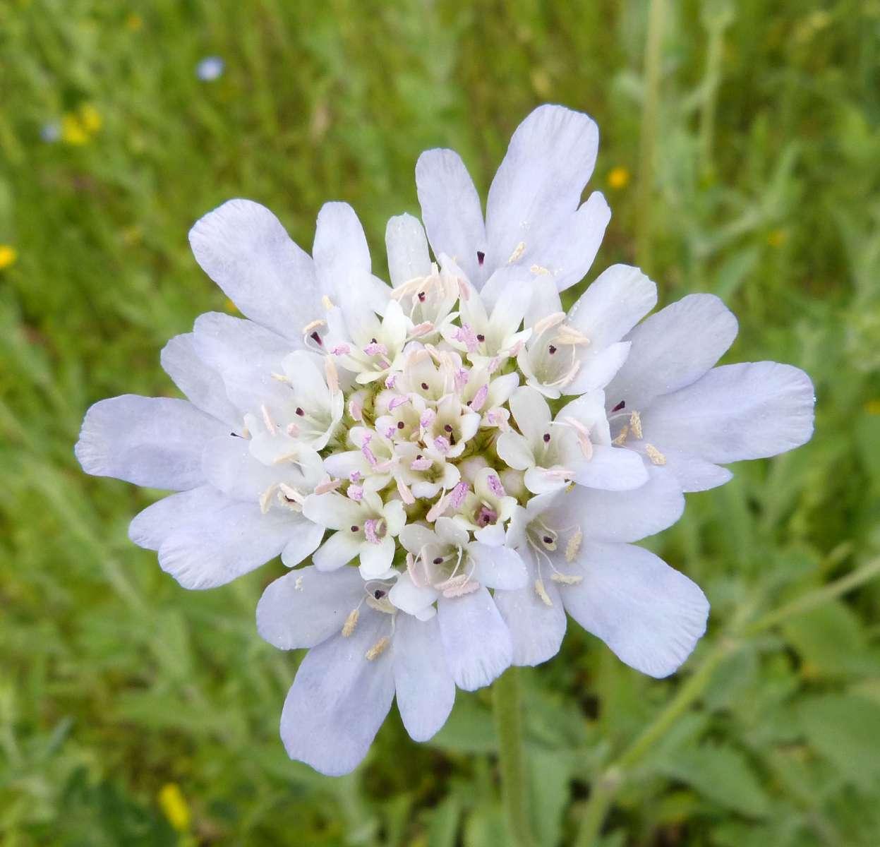 Céphalaire blanche (Crédits: gailhampshire - flickr)