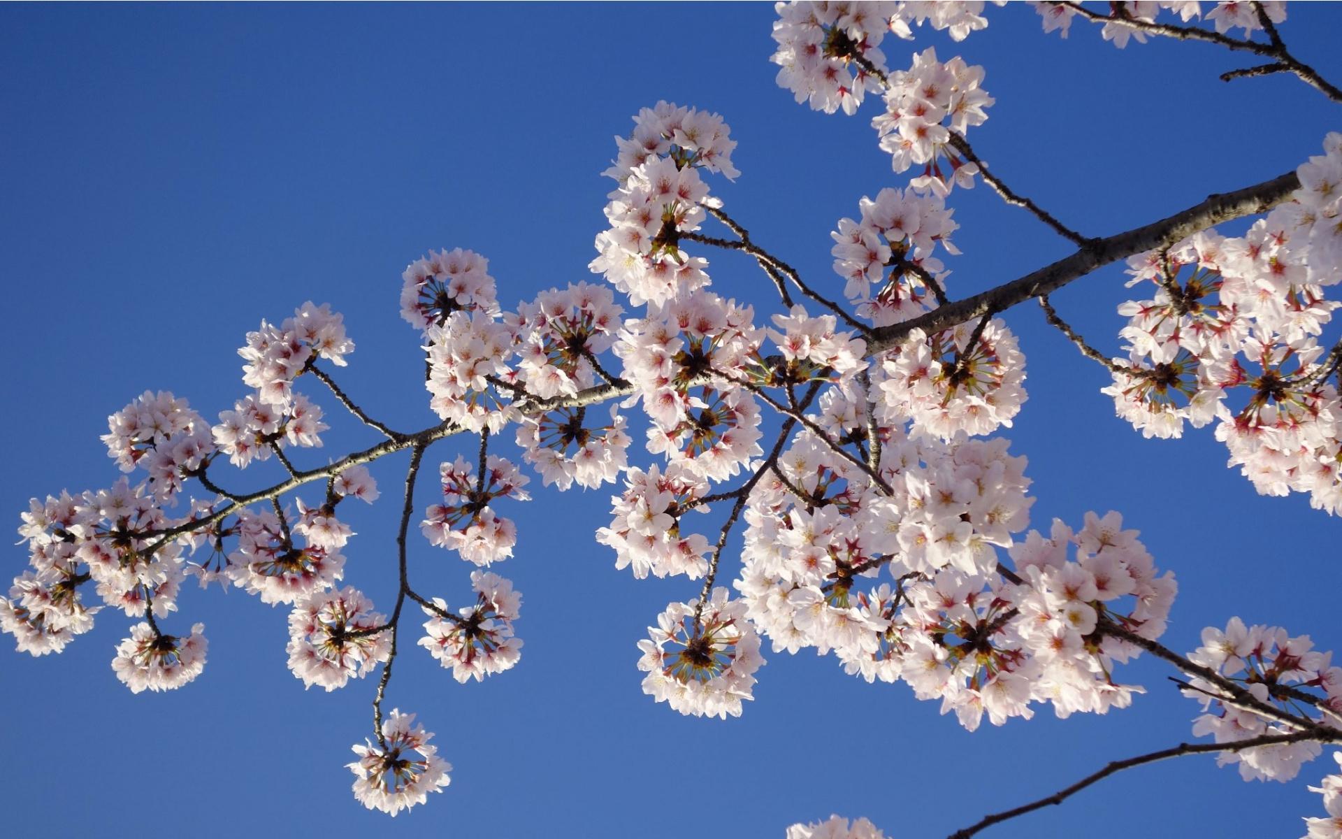 cerisier-credit-Elise-Vaucher