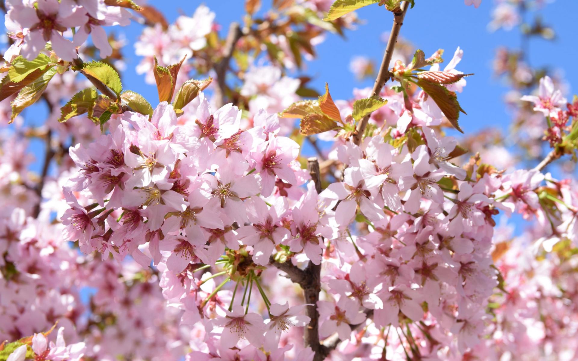 cerisier-credit-raita-futo