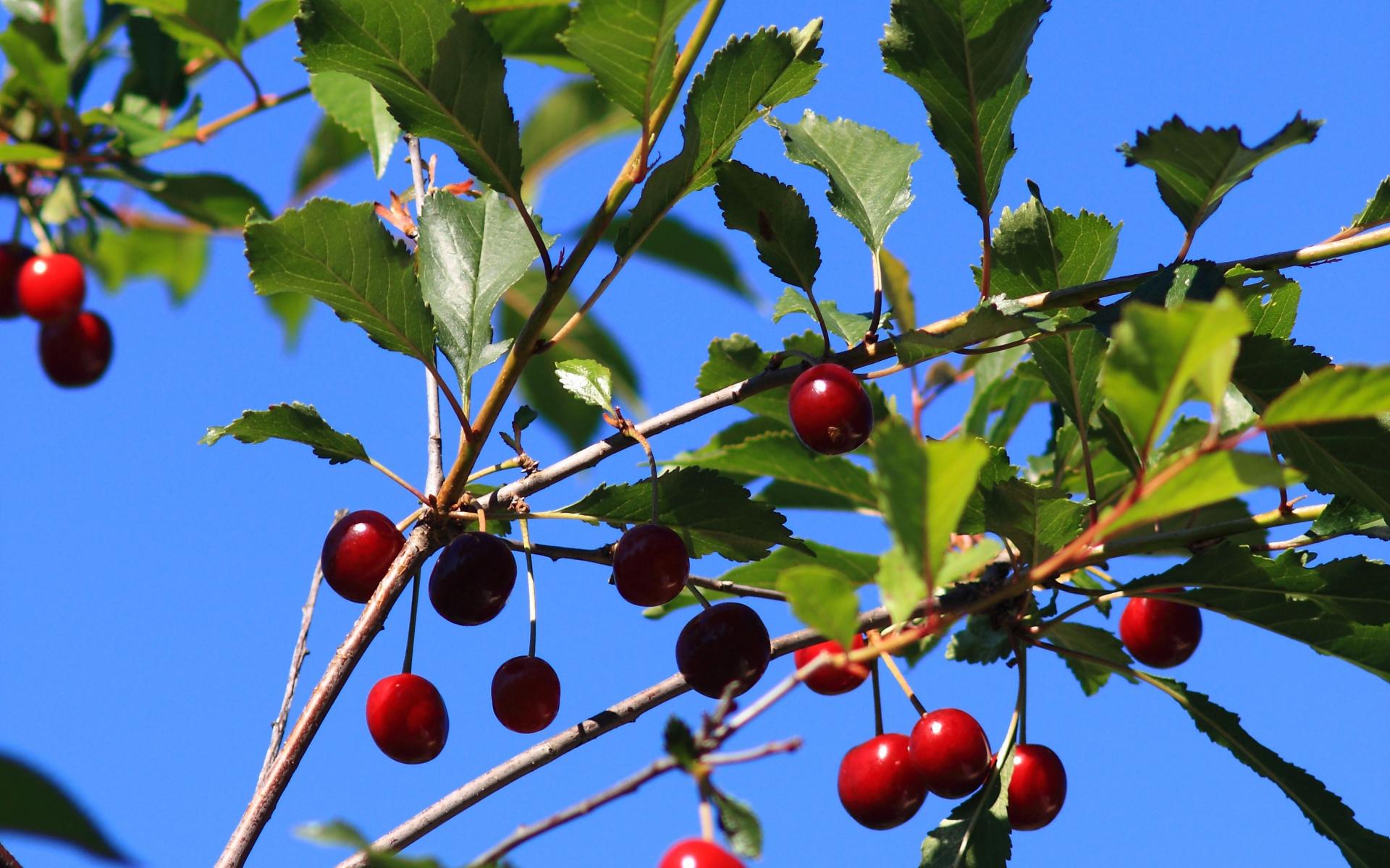 cerisier-credit-valentin-hintikka