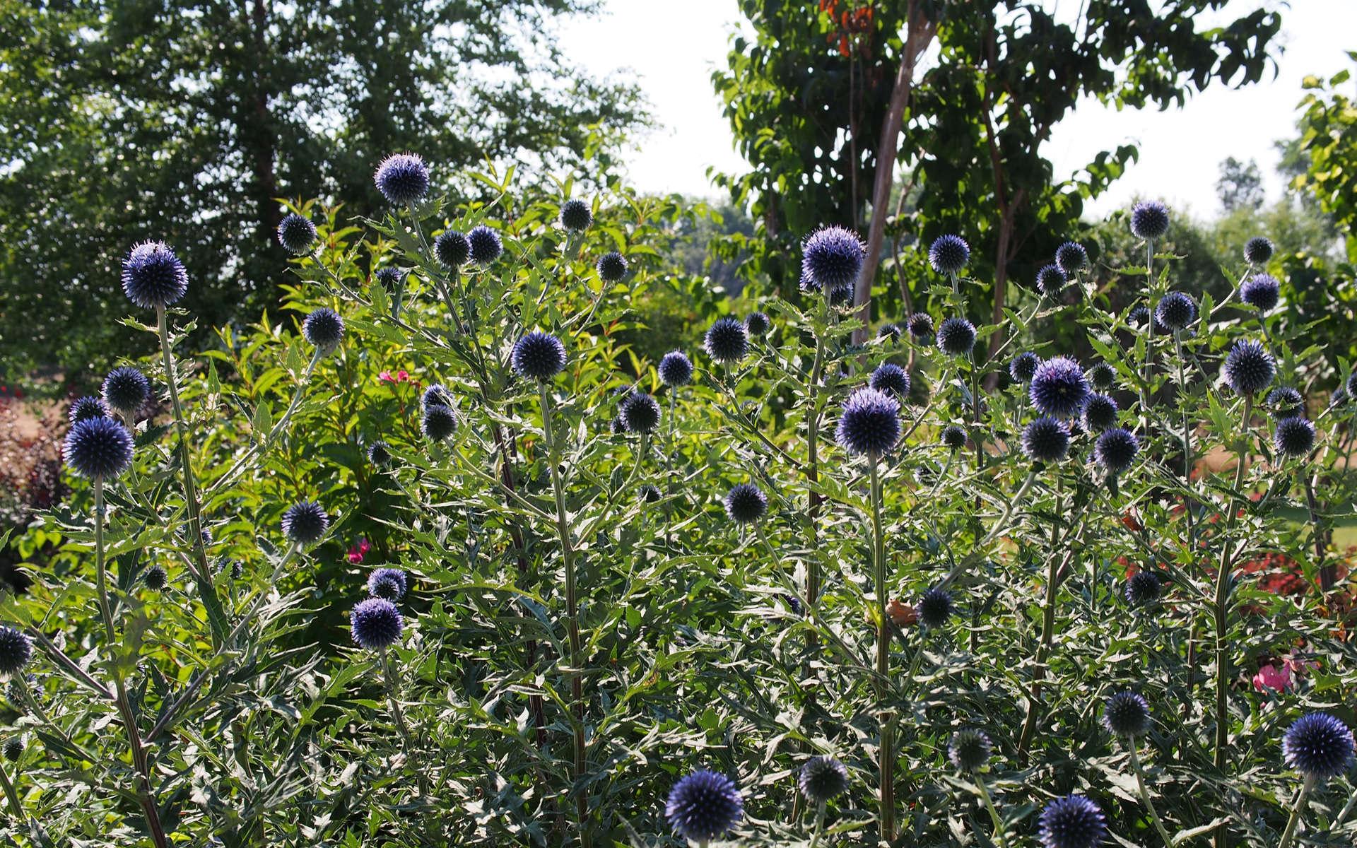 Chardon bleu (Crédits: D. Richards - Flickr)