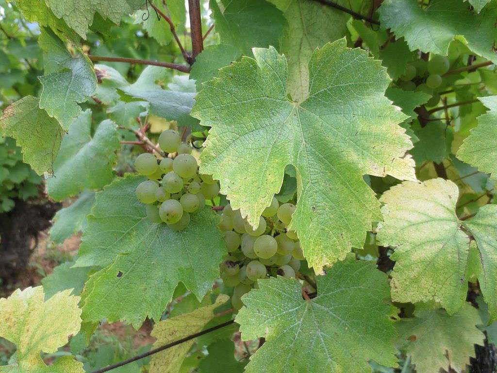 Vigne de chardonnay -credit Atelier nature
