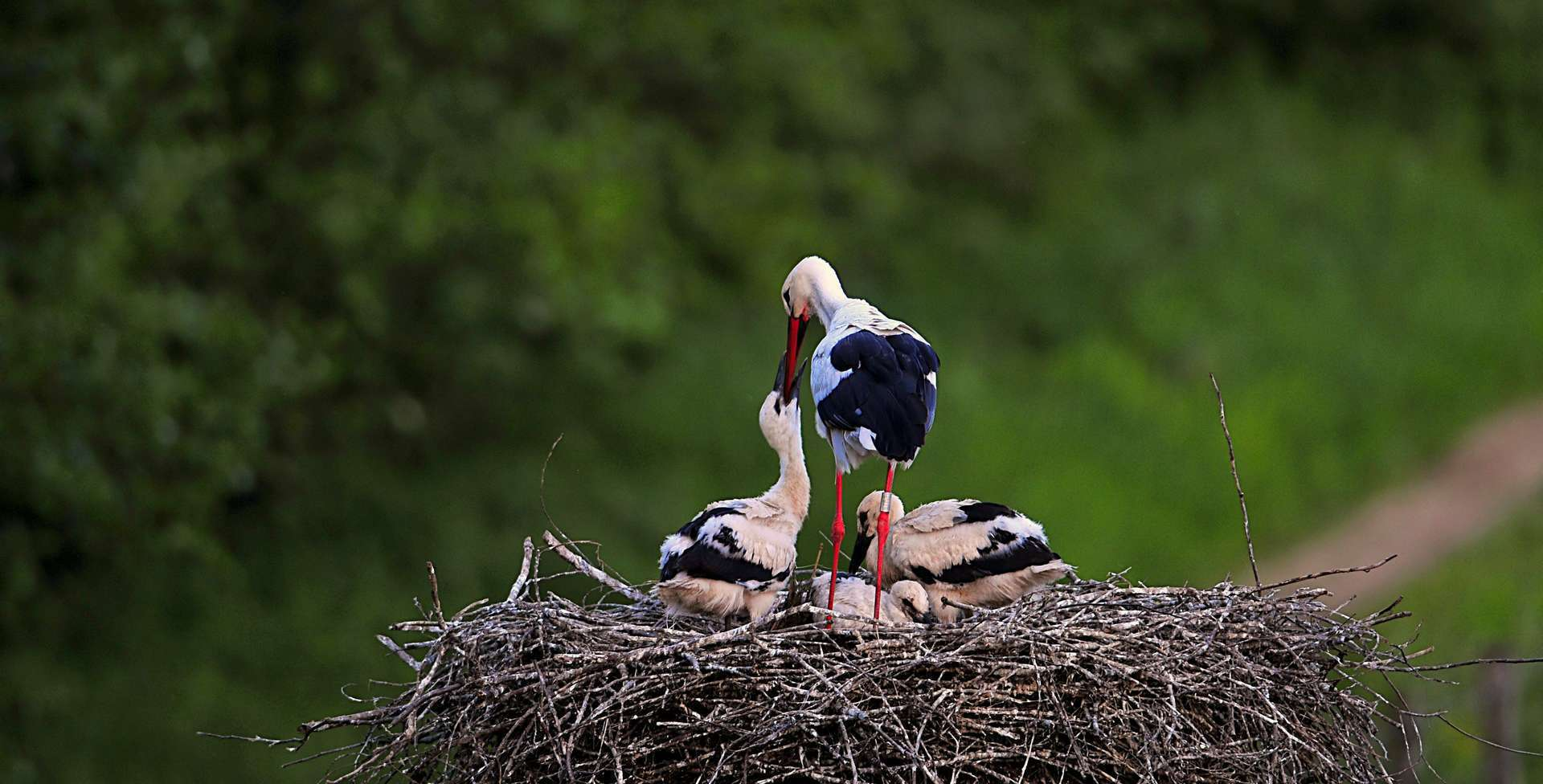 Cigogne blanche (Ciconia ciconia) adulte en train de nourrir ses petits, dans son nid